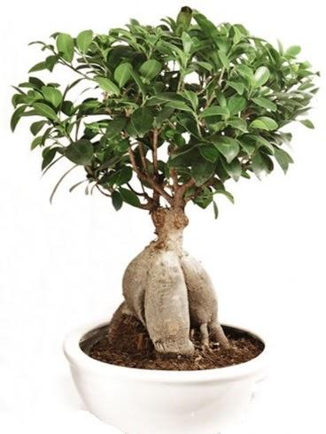 Ginseng bonsai japon ağacı ficus ginseng